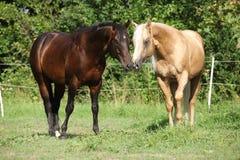 站立在pasturage的两匹公马 库存照片
