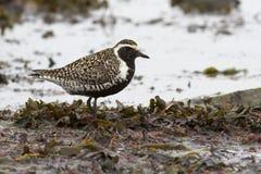站立在shallows的和平的金黄珩科鸟在海滨d 库存照片
