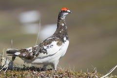 站立在tundr的小丘中的公岩石雷鸟 免版税库存图片