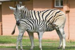 站立在Umfolozi比赛储备的,南非房子前面的母亲和小斑马,在1897年建立 库存照片