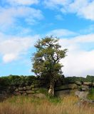 站立对一个老石墙的一棵唯一树 免版税库存照片