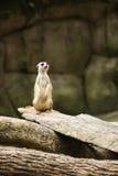 站立对监视的Meerkat 免版税库存图片