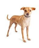 站立小奇瓦瓦狗的狗机敏在白色 图库摄影