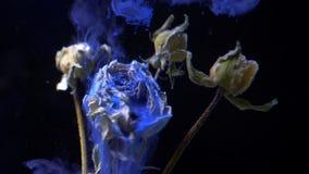 站立干的玫瑰从上面倾吐与在黑背景的烟爆炸的水下和蓝色油漆墨水 影视素材