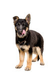 站立德国牧羊犬的小狗舔他的嘴唇 图库摄影
