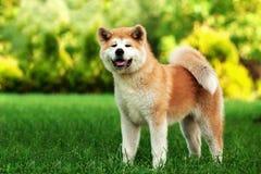站立户外在绿草的幼小秋田inu狗 免版税库存照片