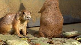 站立挺直和看在动物园的俘虏black-tailed草原土拨鼠 股票视频