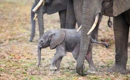 站立接近保护的妈咪的长毛的新出生的大象小牛 库存照片