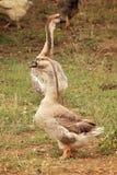 站立接近彼此的两只棕色鹅 库存图片