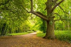 站立欧洲栗木的树感到骄傲在森林里 免版税库存照片