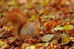 站立用在五颜六色的叶子的榛子的红松鼠 免版税库存图片