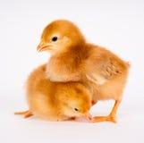 站立白色罗德岛红鸡的婴孩小鸡新出生的农厂鸡 免版税库存图片