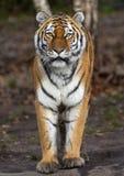 站立的东北虎豹属底格里斯河altaica 库存照片