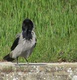 站立的乌鸦在阳光下 免版税库存照片