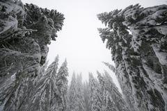 站立的圣诞树高在冬天 免版税库存图片