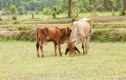站立的小牛嬉戏与母牛 免版税库存照片