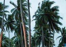 站立的棕榈树高在海滩 图库摄影
