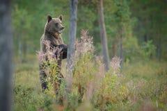 站立的棕熊高 库存图片