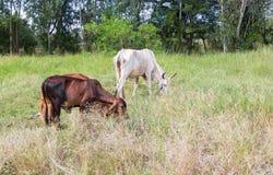 站立的母牛牧群吃草在绿色牧场地 免版税库存照片