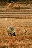 站立的水牛吃在领域的草 免版税库存照片