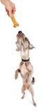 站立的狗到达为款待 免版税库存照片