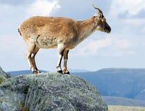 站立的巴贝里绵羊在野生性区域 免版税库存照片