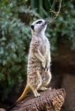 站立的Meerkat感到骄傲 库存照片