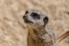 站立的Meerkat接近  免版税图库摄影