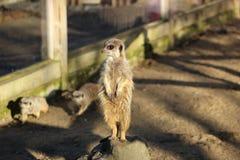 站立的Meerkat高 免版税库存照片