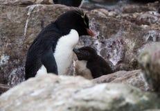 站立的Rockhopper企鹅和小鸡 库存照片
