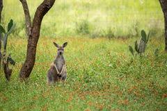 站立红色的袋鼠挺直在树和仙人掌植物之间 免版税图库摄影