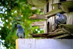站立绿色自然的鸽子鸟充分的身体 免版税库存图片