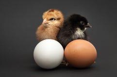 站立近对鸡蛋的两只小鸡 图库摄影
