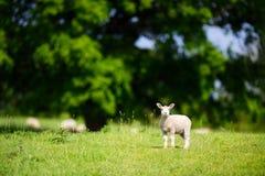 站立近的橡树的羊羔 图库摄影