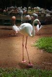 站立近的池塘的桃红色火鸟 免版税图库摄影