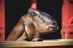 站立近的篱芭的山羊 免版税图库摄影