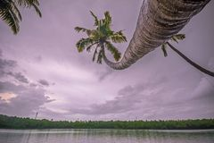 站立长的弯曲的椰子精瘦在Perinad死水 免版税图库摄影