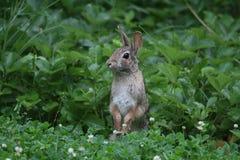 站立2的东部棉尾兔-北美洲兔类floridanus 库存图片
