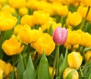 站立从许多黄色部分的一桃红色郁金香 3d概念高个性翻译解决方法 库存图片