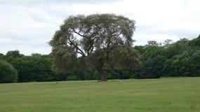 站立majesticly在草甸的橡树 免版税库存照片