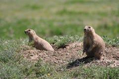 站起来两只的草原土拨鼠 免版税库存图片