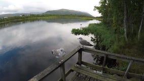 站起来在木路轨关闭的两只海鸥有池塘背景 股票视频