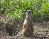 站起来在草的唯一meerkat 免版税库存图片