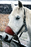 站起来在雪关闭的白马 免版税库存图片