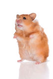 站起来小红色的仓鼠 免版税库存照片