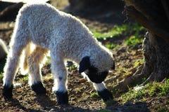 站起来幼小的绵羊 免版税库存图片