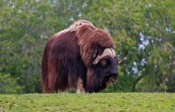 站起来接近的麝牛的显示 免版税图库摄影
