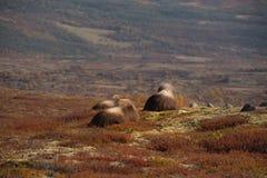 站起来接近的麝牛的显示 库存图片