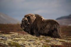 站起来接近的麝牛的显示 免版税库存照片