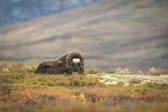 站起来接近的麝牛的显示 免版税库存图片